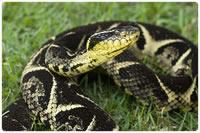 Jararacuçu - cobras peçonhentas das Américas