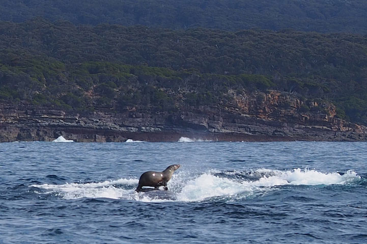 Fotógrafo accidentalmente captura cándida toma de una foca surfeando sobre una ballena jorobada