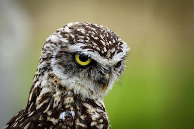 Mitos Burung Hantu yang Belum Anda Ketahui