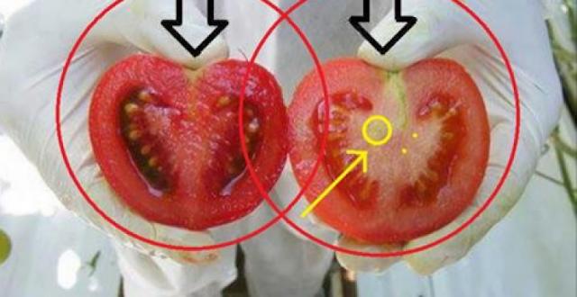 إنتبهوا من الطماطم فليست جميعها آمنة !! بهاتان الطريقتان تكشفون ذلك!