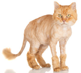 Cats hate lion cuts, and not because they're embarrassing.