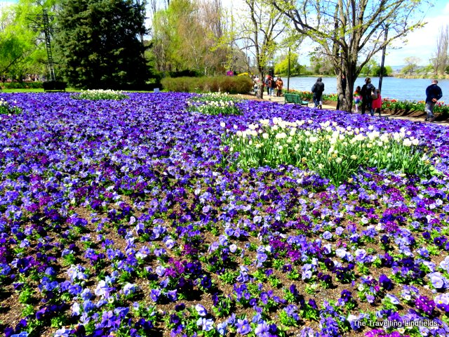 The Travelling Lindfields Floriade And Tulip Top Gardens