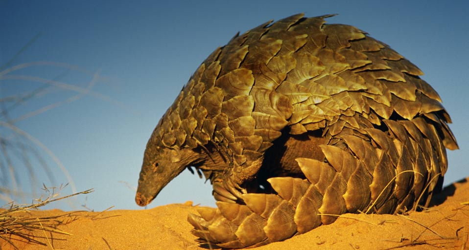 ENCYCLOPEDIA OF ANIMAL FACTS AND PICTURES: Pangolins