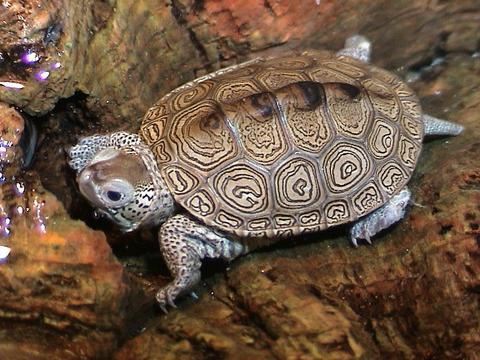 African Helmeted Turtles