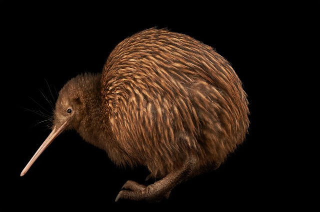 Kiwi birds younger than originally thought, research shows