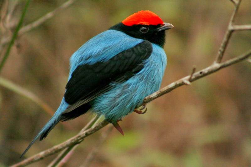 Swallow tailed Manakin