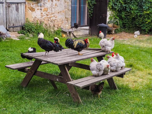 chillende kippen