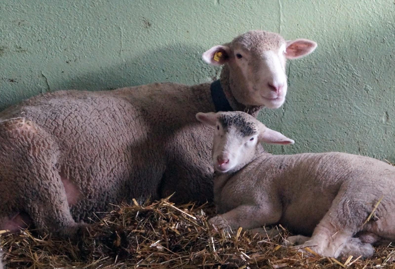 2R Schafe: Weihnachten im Schafstall