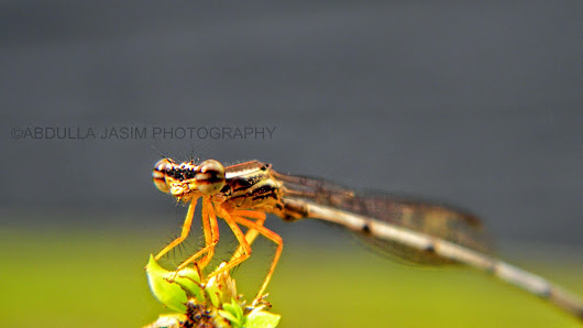 Abdulla Jasim Photography (Official Blog): Damselfly
