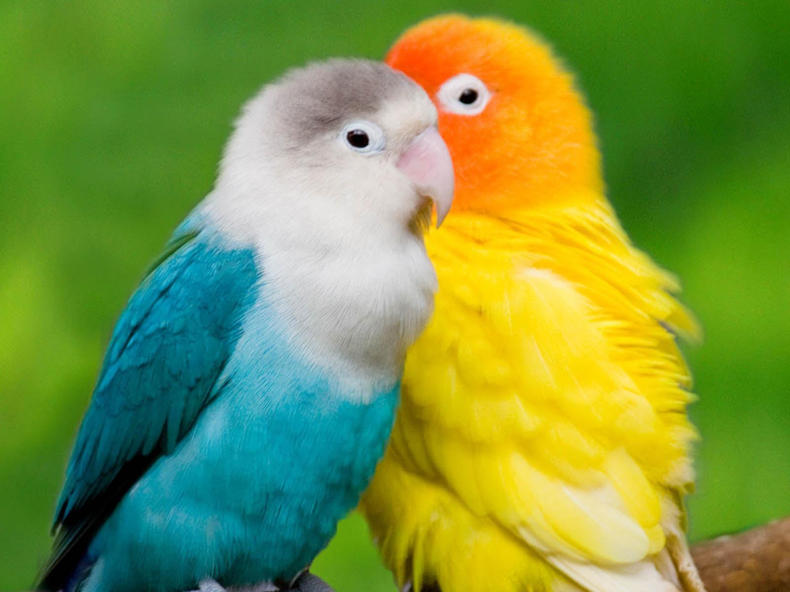 parrots wallpaper bird - photo #8