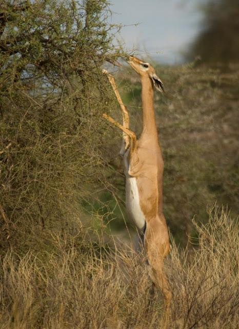 Hewan Gerenuk