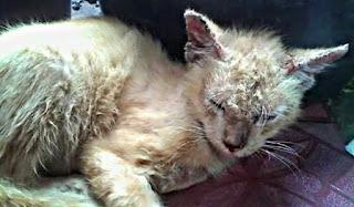 Cara mengobati scabies pada kucing