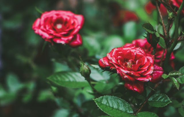 How To Grow Roses In Dry Climate