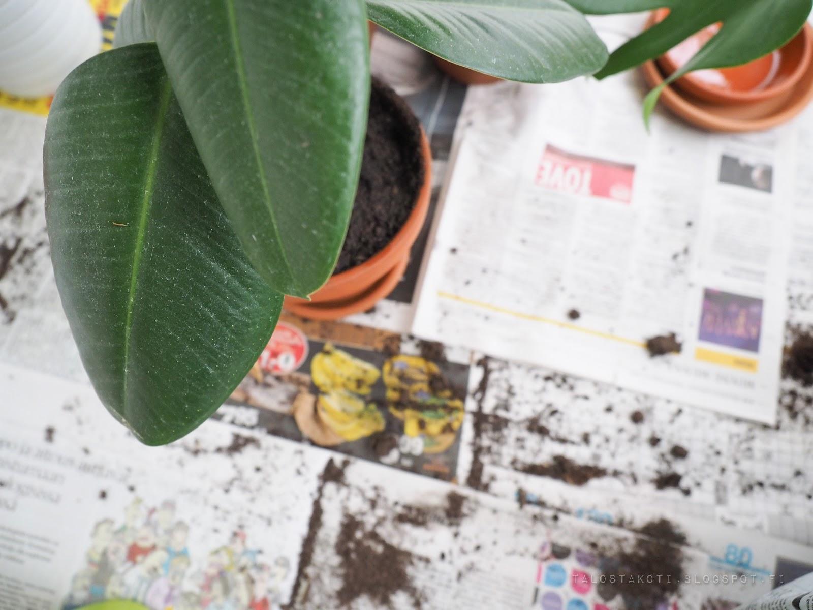 viherkasvi, mullanvaihto