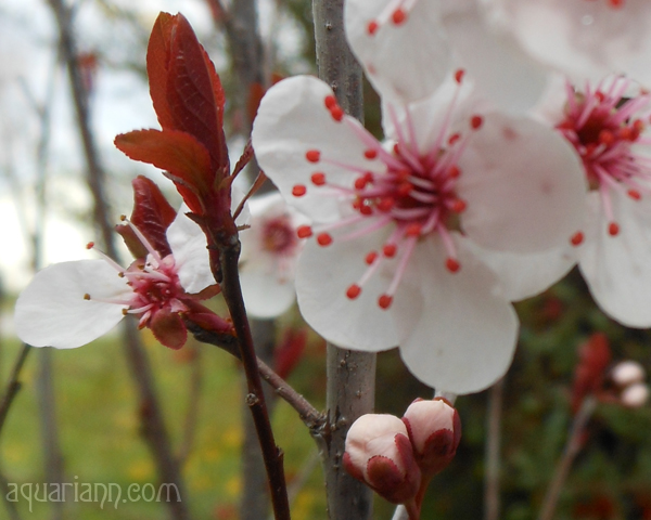 Cistena Plum Tree Blossoms Photo by Aquariann