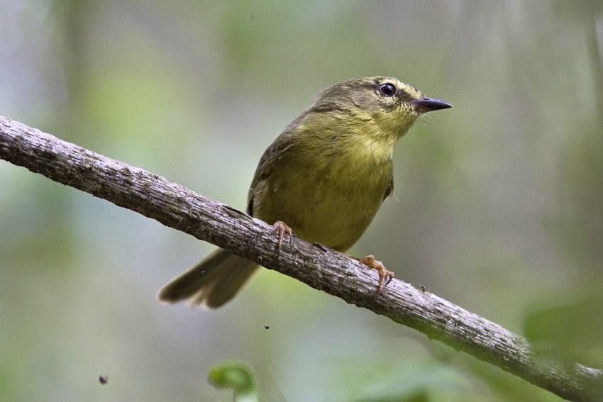 Pale legged Warbler
