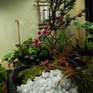 丹頂草の新芽