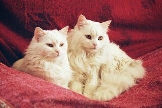 Cara Merawat kucing Anggora dengan Benar Panduan Lengkap untuk Pemula