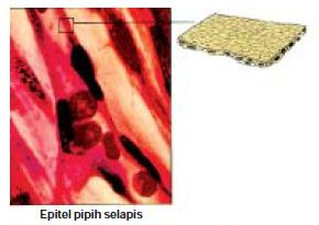 Struktur Dan Fungsi Jaringan Epitel Berbentuk Pipih Kubus Silindris Selapis Dan Berlapis Banyak Pada Hewan Materiedukasi Com