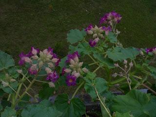 It can be grown on balconies as petunias