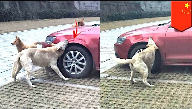 The dogs had their revenge on the abusive man's car