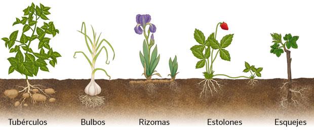 Estolones reproduccion asexual plantas vasculares