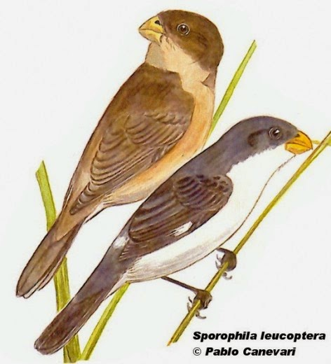 White bellied Seedeater