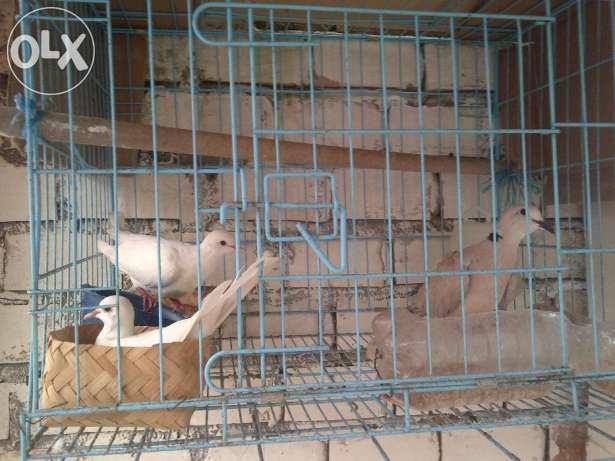 Burung Puter : Tips dan Panduan Untuk Pemula - Ternak ...
