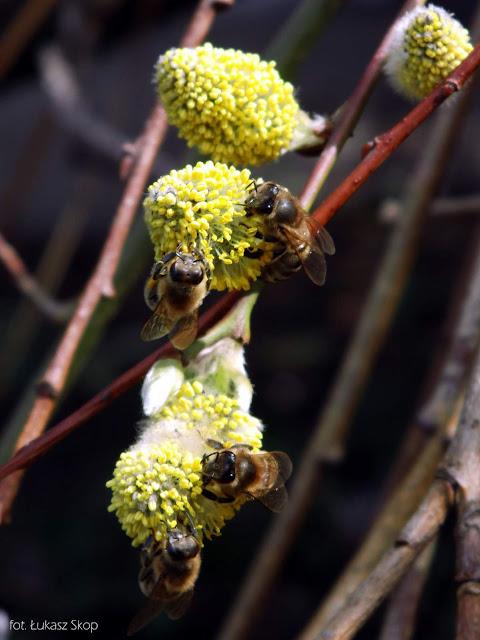 pszczoły na baziach