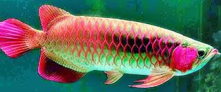 Ikan Arwana Hewan Langka yang Terancam Punah