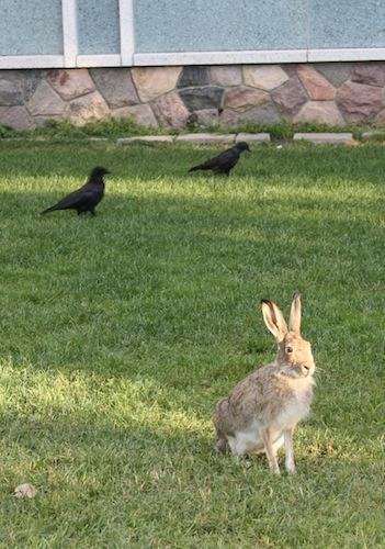 野兔、烏鴉