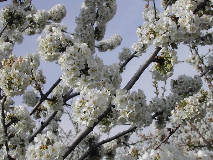 Ya están en floración los cerezos del Valle del Jerte, un espectáculo de la primavera