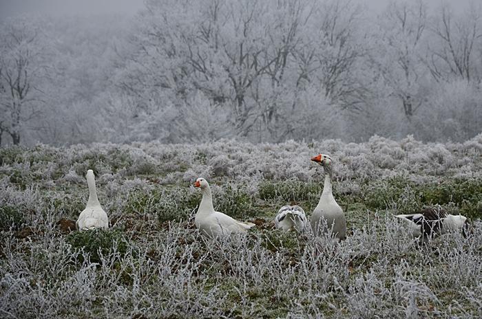 oies dans la neige
