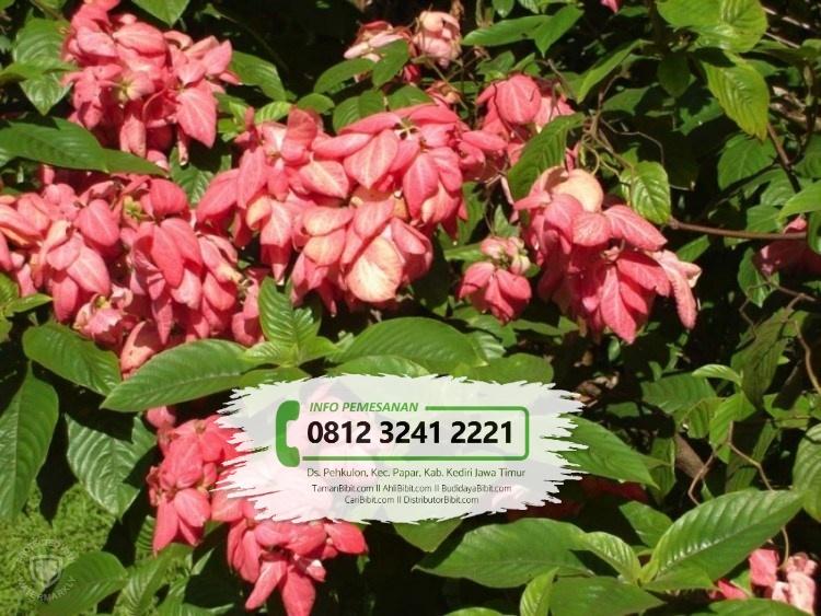 Jual Bibit Bunga Nusa Indah
