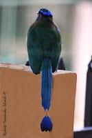 Momoto común ó Bobo, Blue crowned Motmot, Momotus momota