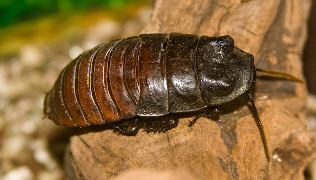 Madagascar Cockroach facts, information and pictures 7