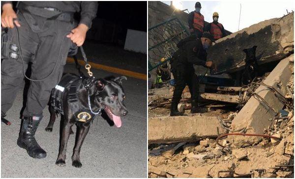 Manolo pasó de ser un perro callejero a salvar vidas tras el sismo