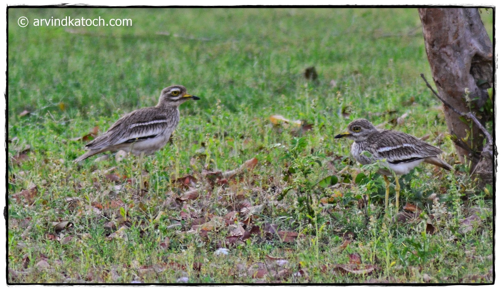 Pair, Eurasian Stone-Curlew,