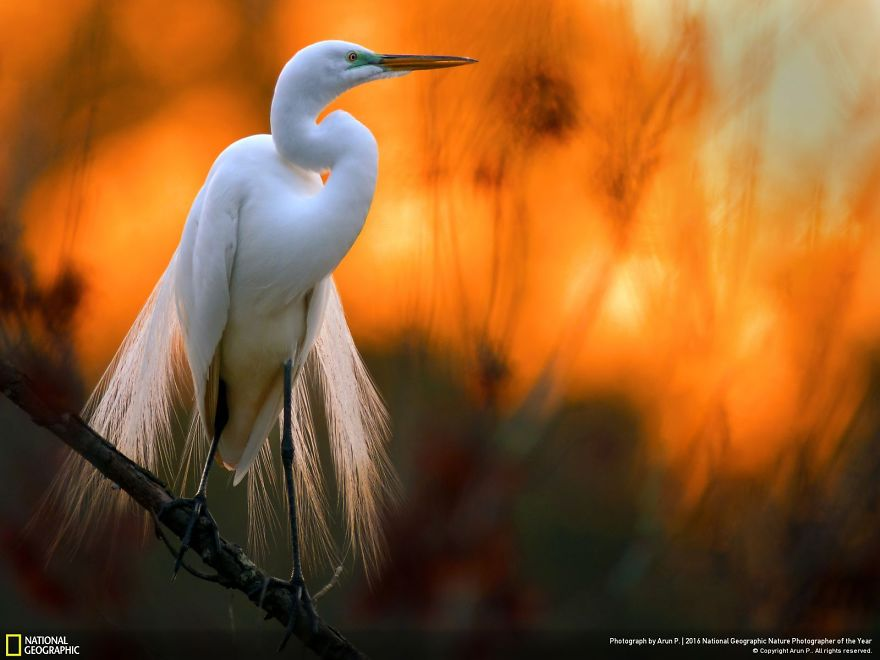20+ Of The Best Entries From The 2016 National Geographic Nature Photographer Of The Year - Great Egret Against The Setting Sun