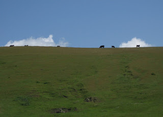 Cows in the clouds along a ridge near Cambria, California
