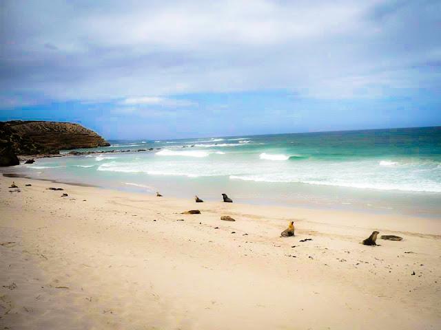 wild seal lions kangaroo island