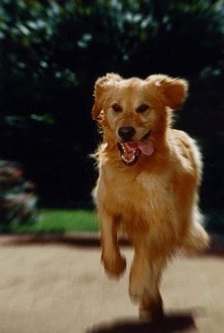Dog Breeds Top 10 According To Iq Test Golden Retriever