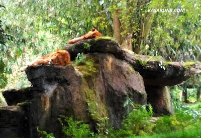 jalan jalan, kebun binatang, taman safari, kandang singa
