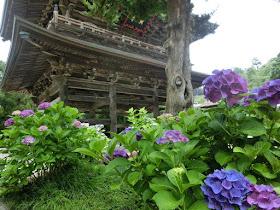建長寺のアジサイ