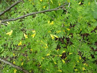 Caraganier de Sibérie - Caragana arborescens