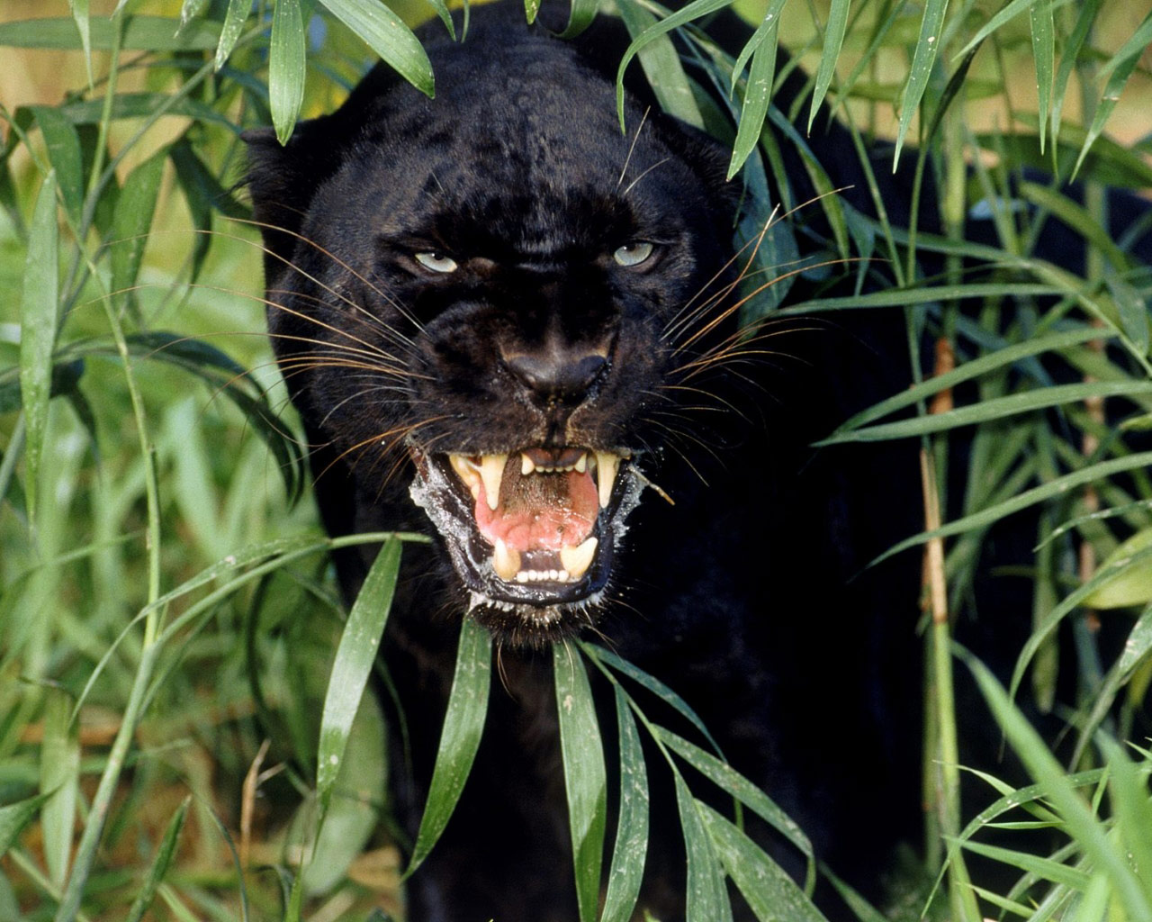 Black Jaguar Of The Amazon   Black Jaguar,black Jaguar Facts,black Jaguar  Animal,black Jaguar Cat,black Jaguar Pictures,black Jaguar Roar