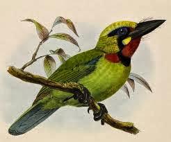 Barbudo de Java Psilopogon javensis