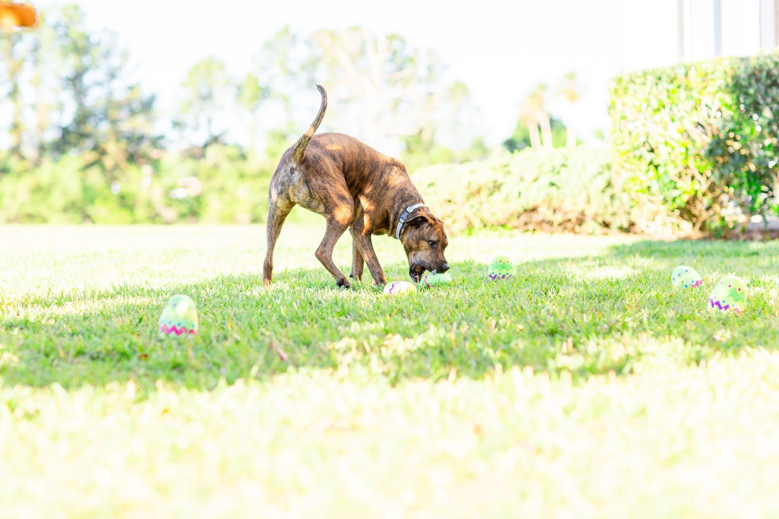 Brindle rescue dog finding a plush easter egg dog toy at his easter egg hunt in a field in florida
