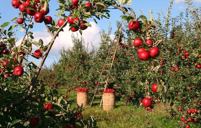 Umur 4 Bulan Bisa Panen, Ini Cara Kekinian Budidaya Apel Merah di Kebun
