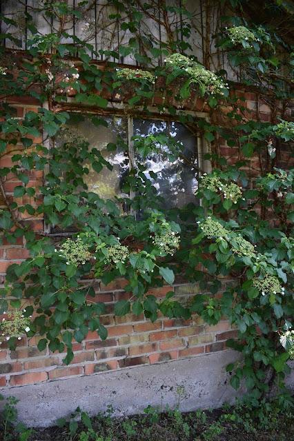 Klätterhortensia, Hydrangea anomala